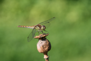 Darter Dragonfly (female)