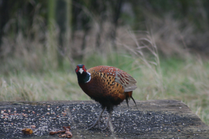 Tail-less Pheasant