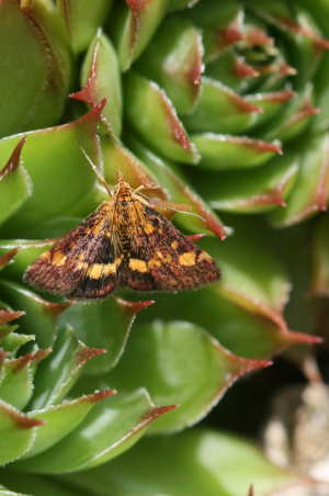 Pyrausta aurata or purpuralis?