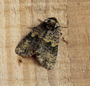 Unknown moth - Noctuid