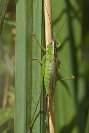Long-winged conehead, Bush Cricket