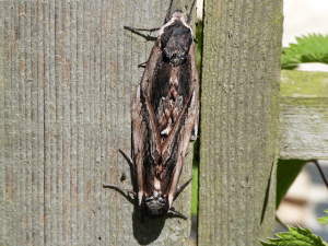 Pair of Privet Hawk Moths on our fence