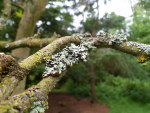Beleived to fructose lichen