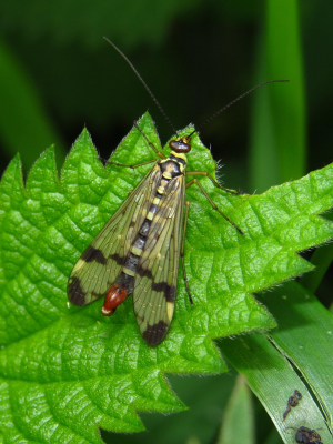 IMG_7000 Scorpion Fly male Hillditch Panorpa communis