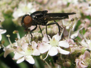Black fly for id