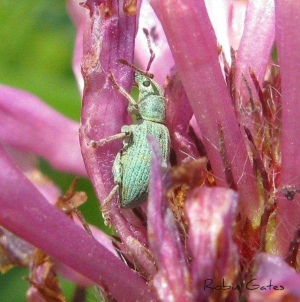 Green weevil for id