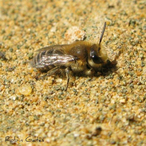 mining bee for id please