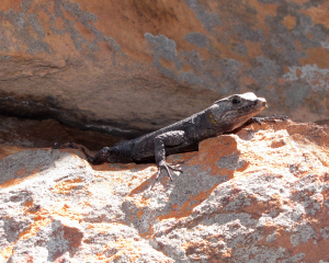 Graceful Crag Lizard