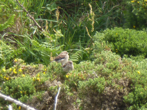 Young Stonechats?