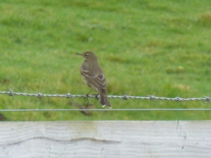 Rock or Meadow Pipit?