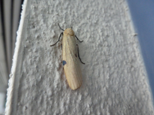 Four-spotted Footman (f)