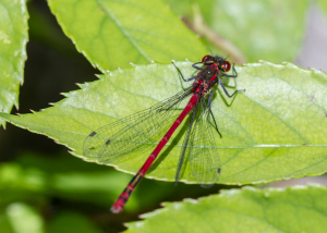 Large Red Damsefly