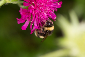 buff tailed bumblebee?