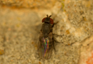 parasitic fly?
