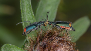 malachite beetles