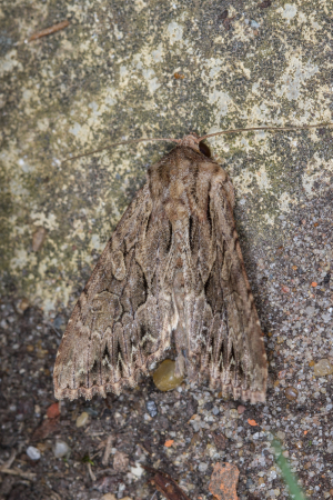 Dark Arches moth