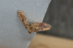 small moth with unusual resting position