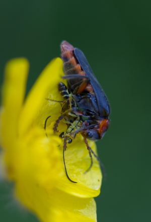 What's the soldier beetle prey?