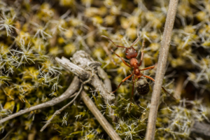 large red ant