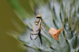 pictured-wing fly