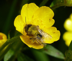 Tree bumblebee on Buttercup