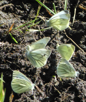Male Green-veined Whites 'mud-puddling'