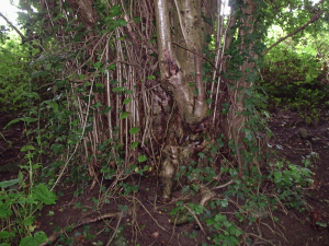 Coppice stool