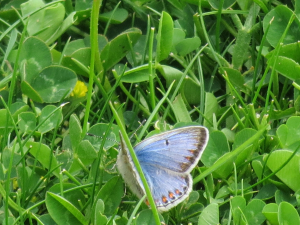 Common Blue female mariscolore?