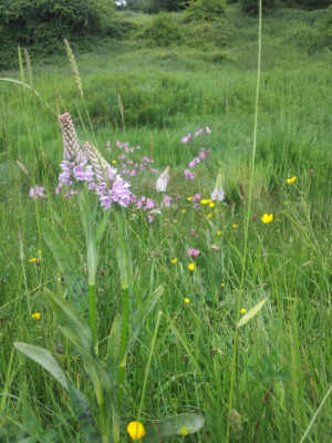 Common Spotted Orchid on Carnmoney Hill