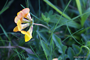 Bird's-foot-trefoil