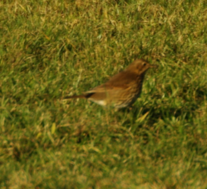 Is it a Redwing, too small for a Songthrush