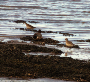Grey Plover, Teal and possibly a Black tailed Godwit