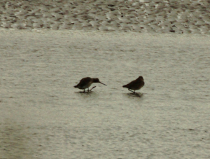 Black tailed godwit?