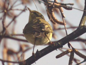 Possibly a Siskin or Greenfinch