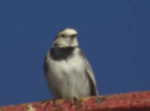 White Wagtail?
