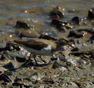 common sandpiper?