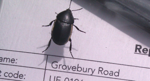 Help with beetle ID