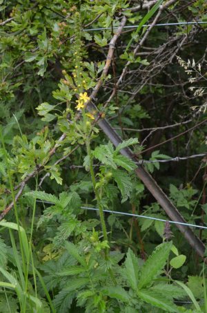 Common Agrimony at Pomphrey Hill