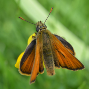 Male Skipper