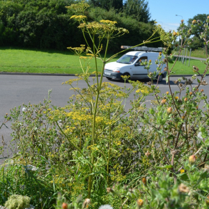 Wild Parsnips at the Rosary Roundabout