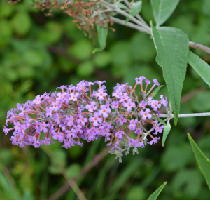 Buddleja davidii at Pomphrey Hill Playing Fields