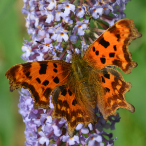 Comma on a Butterfly Bush