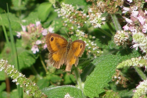 Small orange and brown butterfly