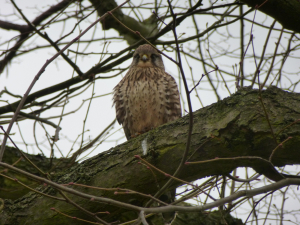Kestrel near Cockfosters
