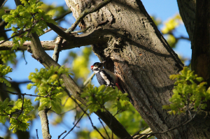 Great Spotted Woodpecker at nest