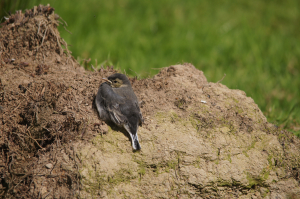 Pied Wagtail fledgling