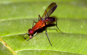 Borneo secondary forest,Sarawak rainforest red insect - ID help please