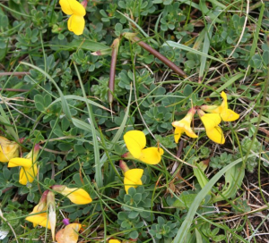 Common Birds-foot Trefoil