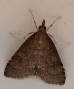 type of snout moth ?