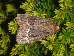 MAY BE COPPER UNDERWING